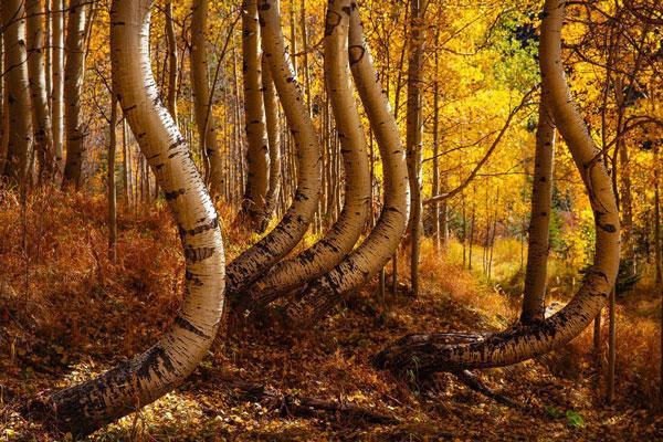 تصاویر از درختان به شکل منحنی در آمریکا