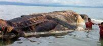 عکس هایی از غول پیکرترین موجود دریایی در اندونزی