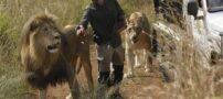 دوستی جالب و دیدنی مرد و گله شیرها