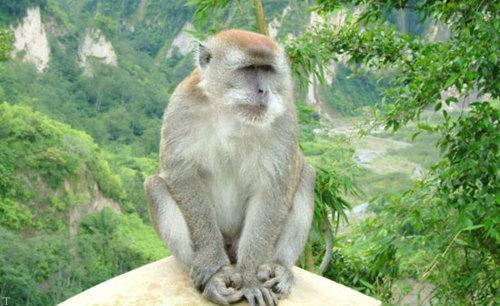 عکس های میمون های اندونزی ، دزدان وسایل توریست ها