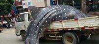 واکنش های متفاوتی از صید کوسه نهنگ نادر در چین