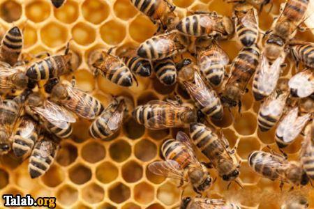 همه چیز در مورد زندگی کردن زنبور عسل