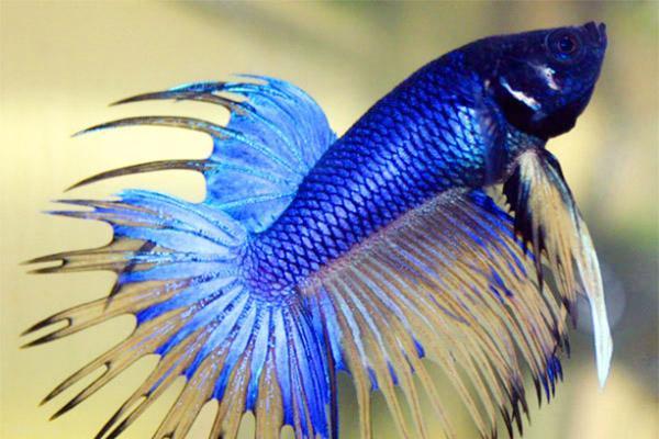 روش هایی برای نگهدای استاندارد از ماهی زیبای فایتر