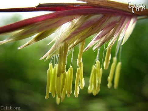 رویش گل به صورت عجیب در گیاه بامبو (+تصاویر)