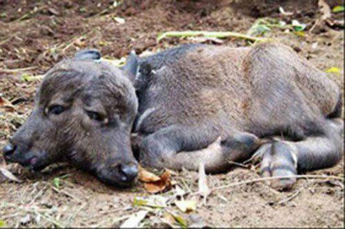 تولد گوساله ی دوسر در باخرز خراسان رضوی (عکس)