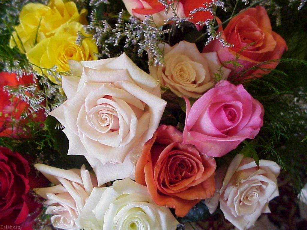 تصاویر فوق العاده زیبا از گل های رز شفاف و زیبا