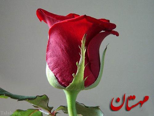 عکس گل رز قرمز (2)
