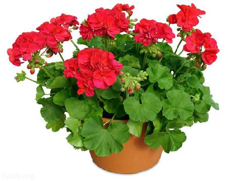 اصول مهم برای مراقبت از گل شمعدانی