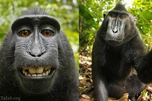 صورت جالب این میمون او را معروف کرد ! (+تصاویر)