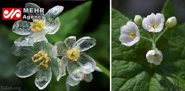 گلی که در هنگام باران شیشه میشود ! (+عکس)