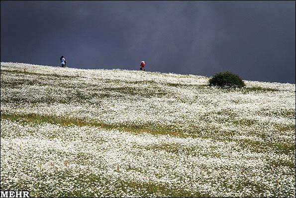 عکس های زیبا از گل بابونه