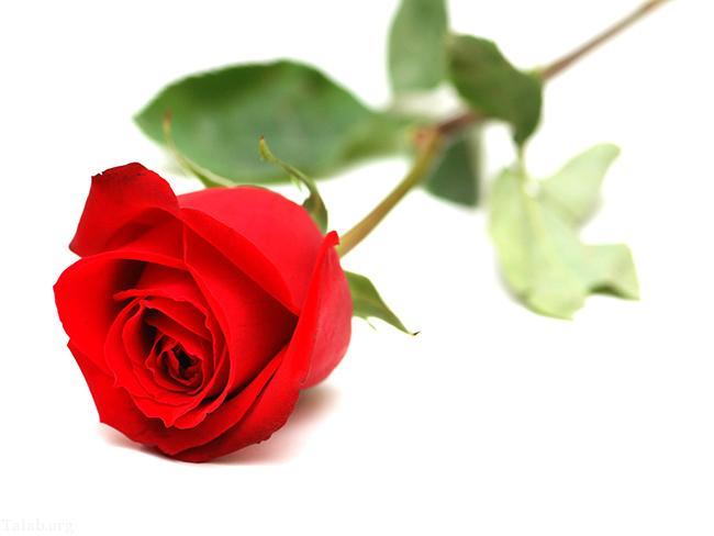 خاصیت خواندنی گل رز برای پوست صورت و دست ها