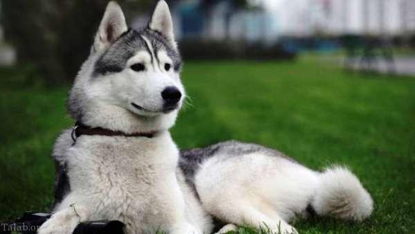 آشنایی با 25 نژاد سگ معروف خطرناک در جهان
