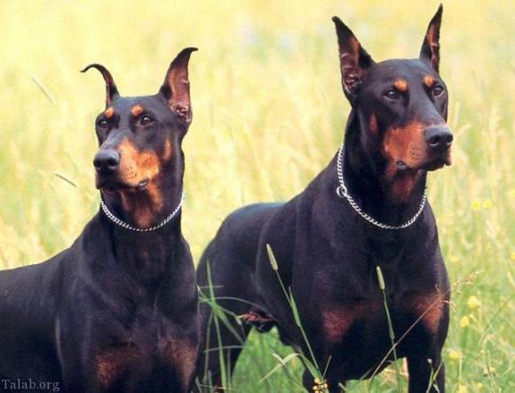 انواع سگ های خطرناک در جهان