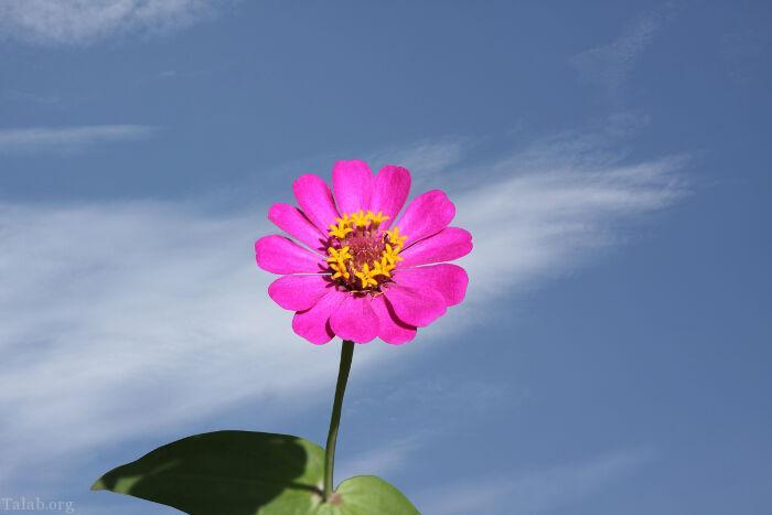 تصاویر گل زیبا و با کیفیت