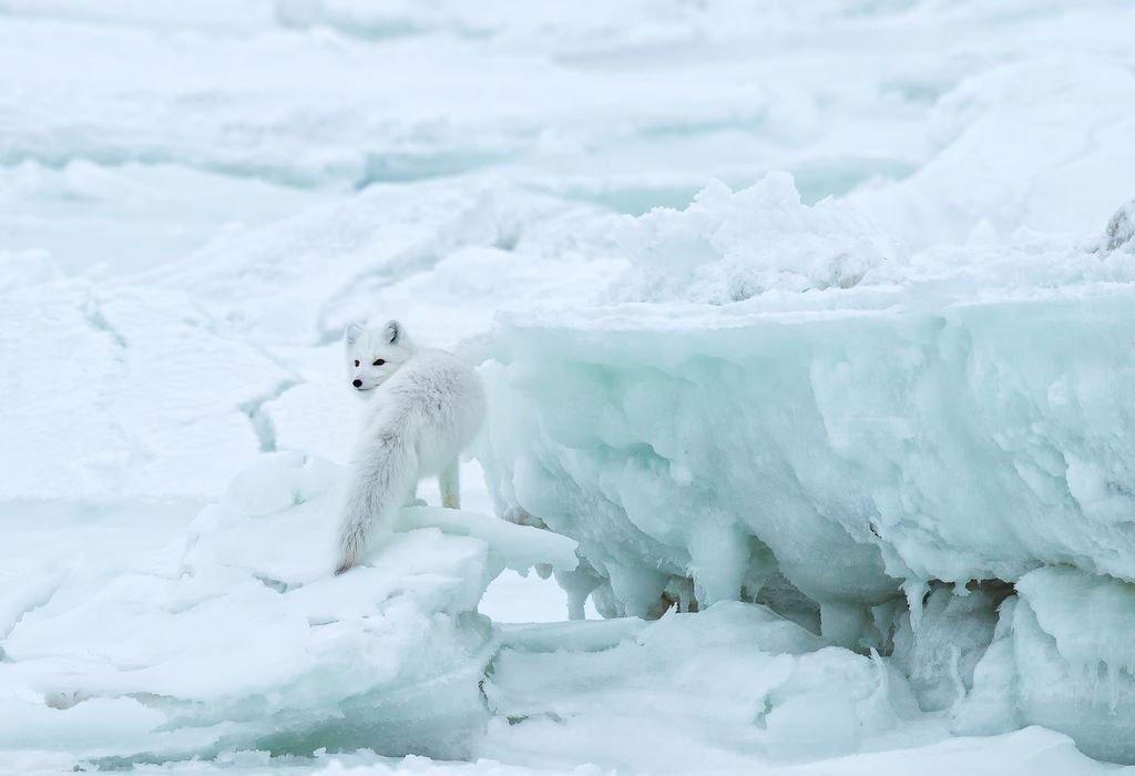 عکس ثبت شده از روباه برفی در قطب شمال