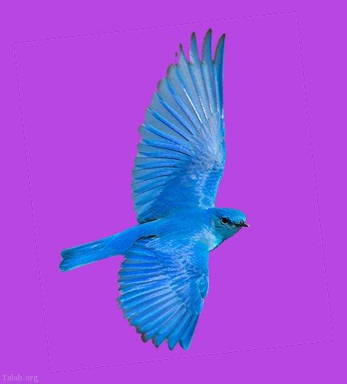 طالع بینی جالب ژاپنی از روی پرنده آبی