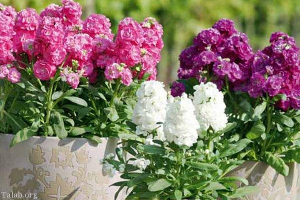 گل شب بو (نگهداری ، تکثیر گل شب بو و انواع گل شب بو )