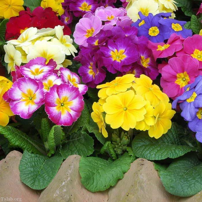 گل پامچال (نگهداری و آبیاری و نور مورد نیاز )