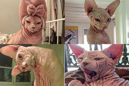 گربه ای ترسناک که بسیار محبوب است (گربه شیطانی)