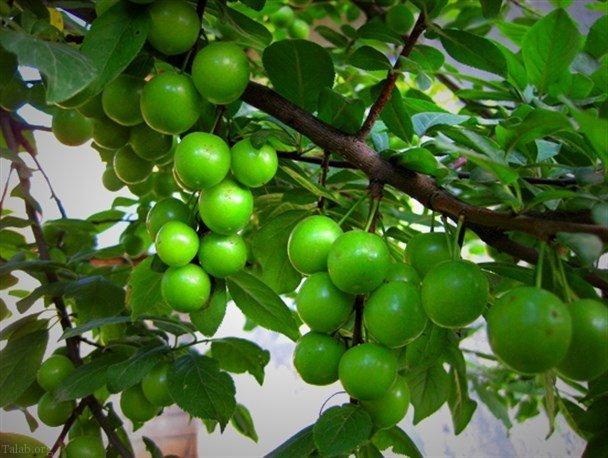 خواص درمانی بی نظیر آلوچه سبز یا گوجه سبز