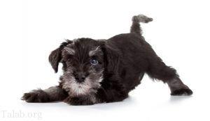 معرفی سگ های اصیل و نژاد دار | بهترین نژاد های سگ در جهان