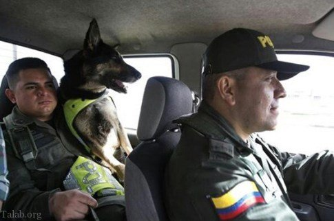 جایزه 70 هزار دلاری برای کشتن این سگ باهوش پلیس (عکس)