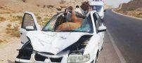 تصاویری از تصادف و برخورد خودروها با شتر ( برخورد سمند با شتر)