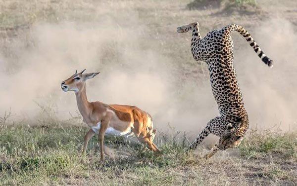 نجات معجزه آسا از شکار شدن در حیوانات (عکس)