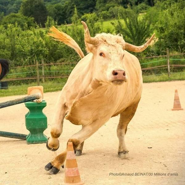 گاوی که فکر میکند اسب است + طوطی های تریاکی (عکس)
