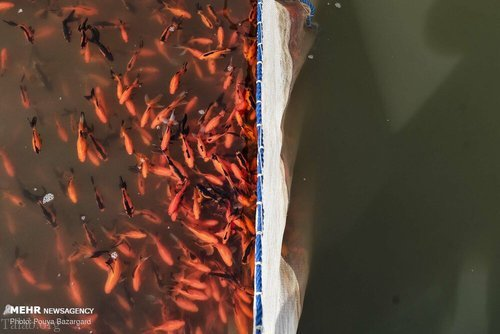 عکس هایی از پرورش ماهی قرمز در شمال ایران