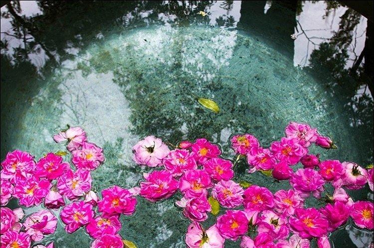 گلابگیری در قمصر کاشان در اردیبهشت ماه + تصاویر