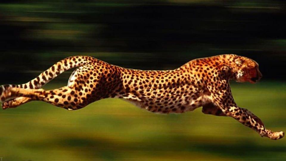 راز موفقیت یوزپلنگ در شکار کردن چیست ؟