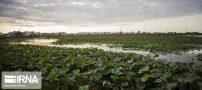 تصاویری از تالاب نیلوفر آبی بابل در استان مازندران