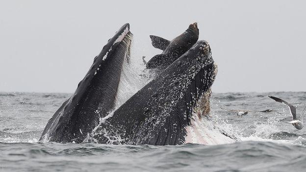 تصاویری جالب از شکار شیر دریایی توسط نهنگ غول پیکر