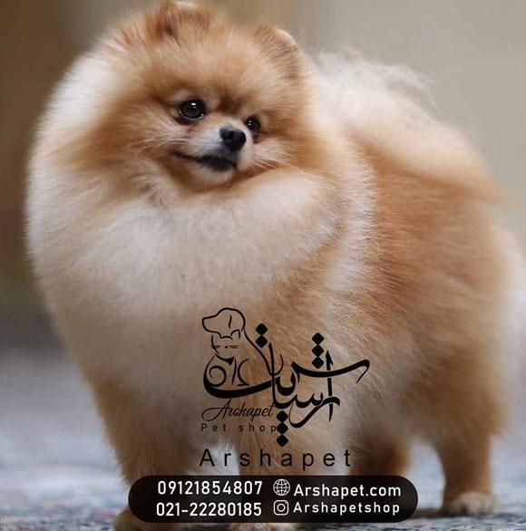 خرید سگ پامرانین + خرید اینترنتی حیوانات خانگی ارشا پت