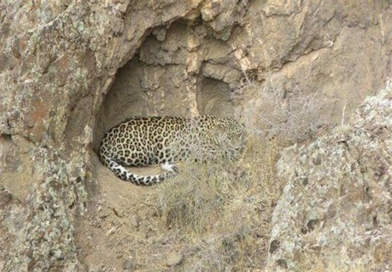 مشاهده پلنگ کمیاب ایرانی در خلخال (عکس)