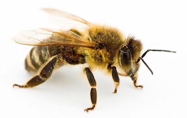 تعبیر خواب زنبور از امام جعفر صادق (ع)