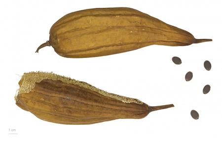 بهترین خواص خیار مصری + روش کاشت خیار مصری (لوفا)
