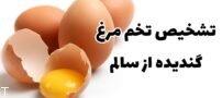 تشخیص تخم مرغ گندیده از سالم