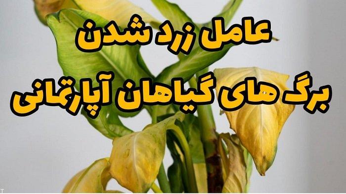عامل زرد شدن برگ های گیاهان آپارتمانی