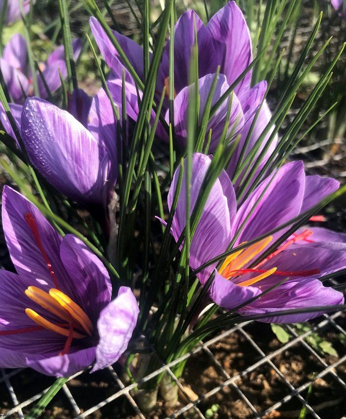 کاشت زعفران و فواید آن برای سلامتی بدن