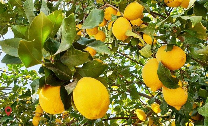 درمان کبد چرب با استفاده از چند میوه